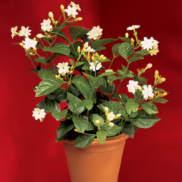 Fill Your Home with Flowering Houseplants Flowering Houseplants Jasmine Html on easy houseplants, guzmania houseplants, walmart houseplants, ferns houseplants, pet friendly houseplants, rubber plant care houseplants, names of different houseplants, heart leaf philodendron houseplants, indoor houseplants, identifying houseplants, tropical houseplants, fragrant houseplants, planting cactus as houseplants, best houseplants, butterfly houseplants, most common houseplants, house plant houseplants, caring for orchids as houseplants, exotic houseplants,