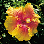 Hibiscus 'The Path'