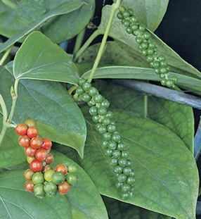 Green and red peppercorns on plant.