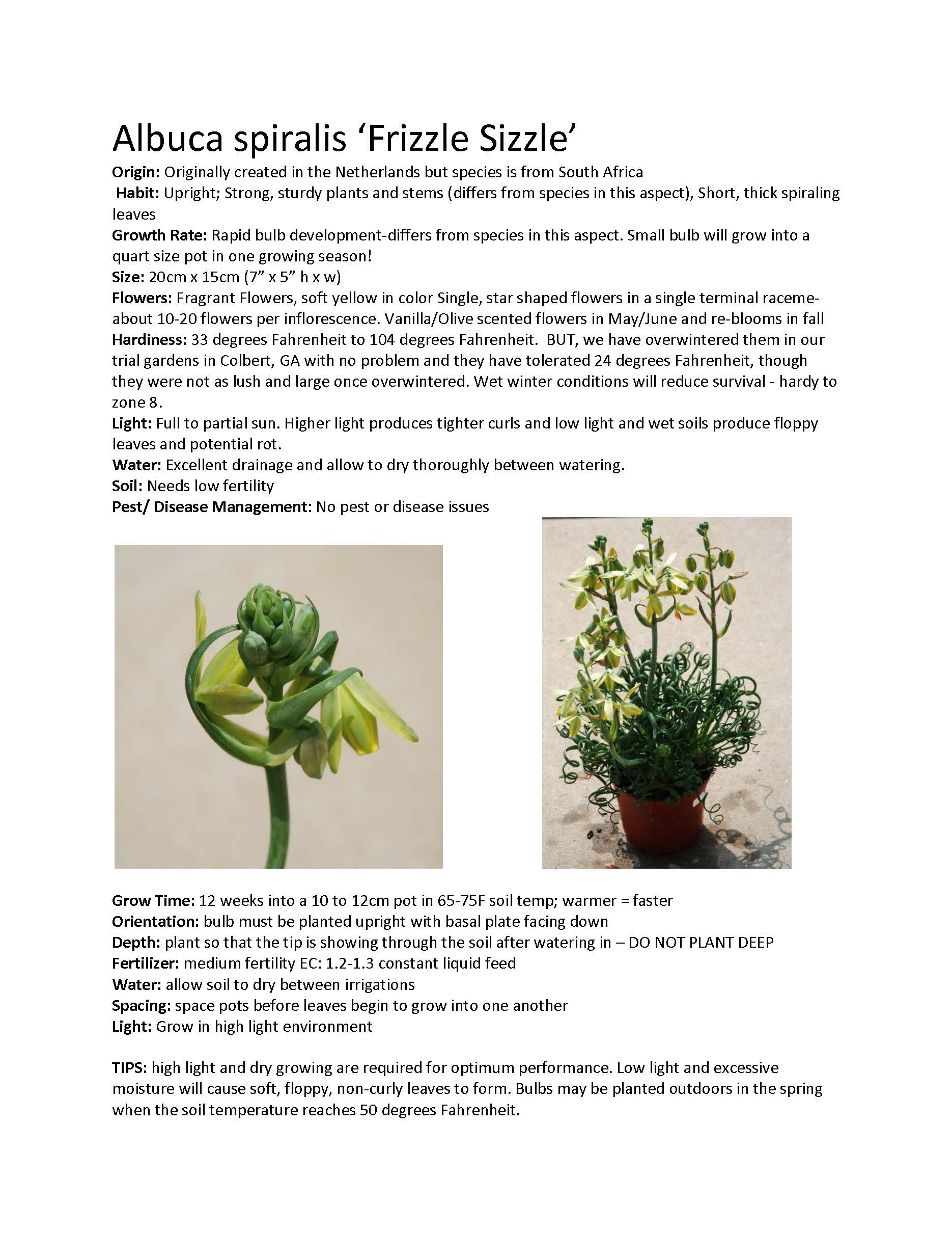 Albuca Frizzle Sizzle Plant for Sale - Buy Albuca Spiralis at Logee's!
