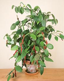 Black Pepper plant