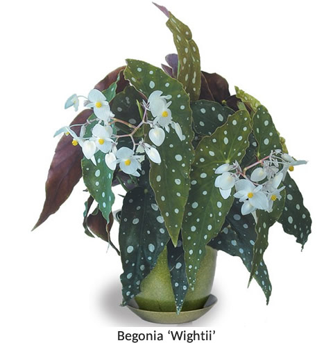 Begonias How To Grow Care For Begonia Plants Begonias For Sale