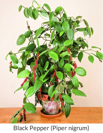 Black Pepper Plants - How to Grow Your Own Black Pepper