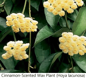 Hoya Plant How To Grow And Flower The Indestructible Hoya Plant