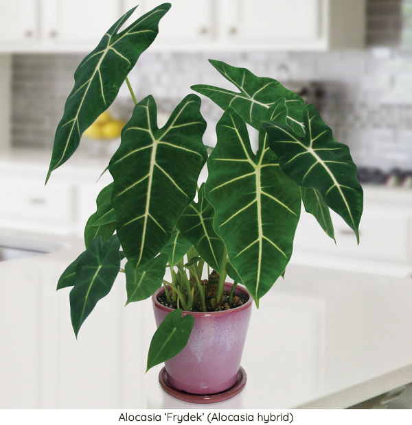 Low-Light Houseplants ~ 15 Fabulous Plants That Do Best in ... on house plants with colorful leaves, perennial plants with purple leaves, florida plants with red leaves, house plant purple heart, purple foliage plants with leaves, purple house plant fuzzy leaves, house plants with long green leaves, house with red flowers, wandering jew with fuzzy leaves, house plant rubber plant, house plants and their names, house plants with bronze leaves, poisonous plants with purple leaves, house plants with small leaves, tomato plants with purple leaves, house plants with dark red leaves, house plants with waxy red blooms, olive tree green leaves, house plants with light green leaves, house plants with shiny leaves,