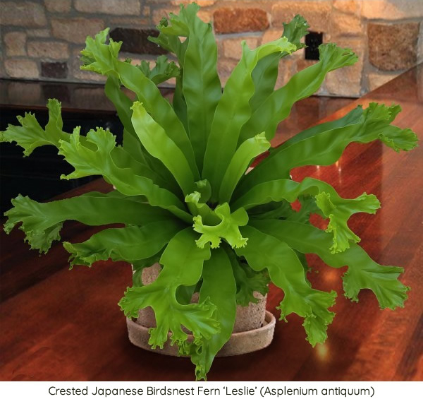 Low-Light Houseplants ~ 15 Fabulous Plants That Do Best in ... on low desert plants, low garden plants, low growing plants for front of house, low floral plants, low mountain plants, low water plants, low sun plants, low light plants, low butterfly plants, low light palm trees,