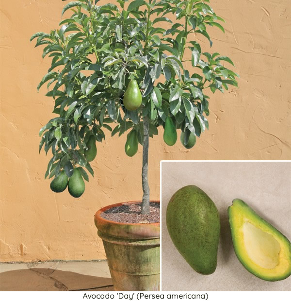 Avocado Trees For How To Grow